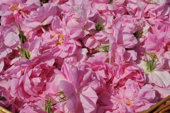 Roses Centifolia fraîchement cueillies à Grasse pour créer un parfum rose