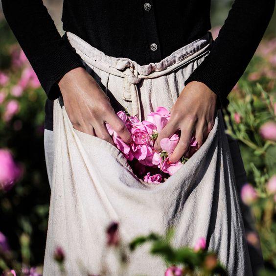 Cueillette des roses à Grasse pour créer un parfum rose