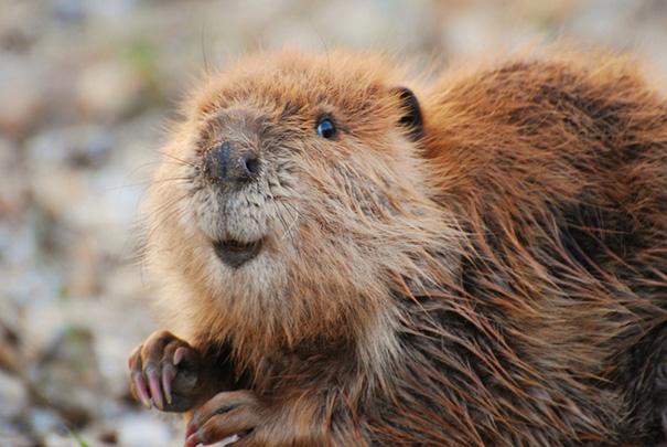 cute_baby_beavers_025.jpg